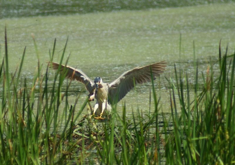 Bihoreau et son poisson Parc_d70