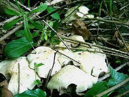 Les champignons , ( girolles , cèpes , morilles ) etc ...  - Page 2 110