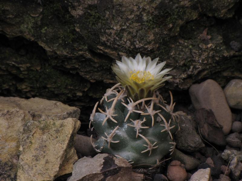 Pediocactus peeblesianus ssp. maia Navajo10