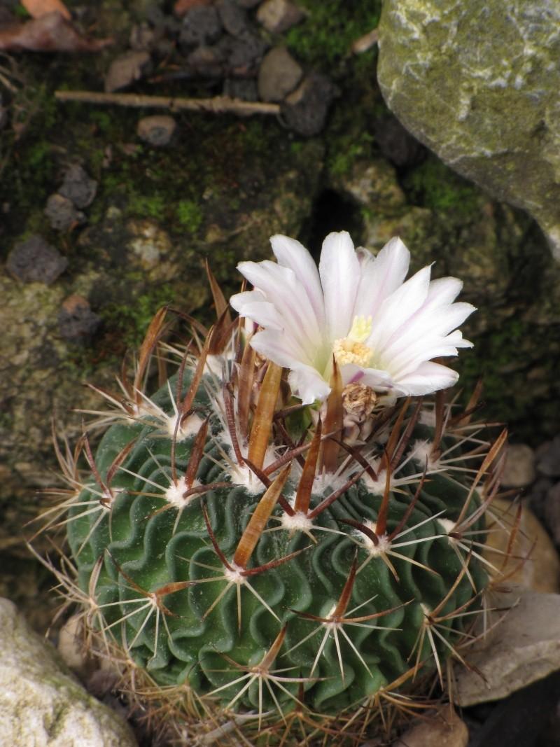 Echinofossulocactus erectocentrus Stenoc10