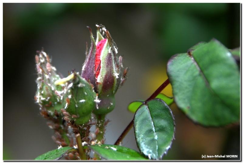 Mignonne, allons voir si la rose... Hdr_2110