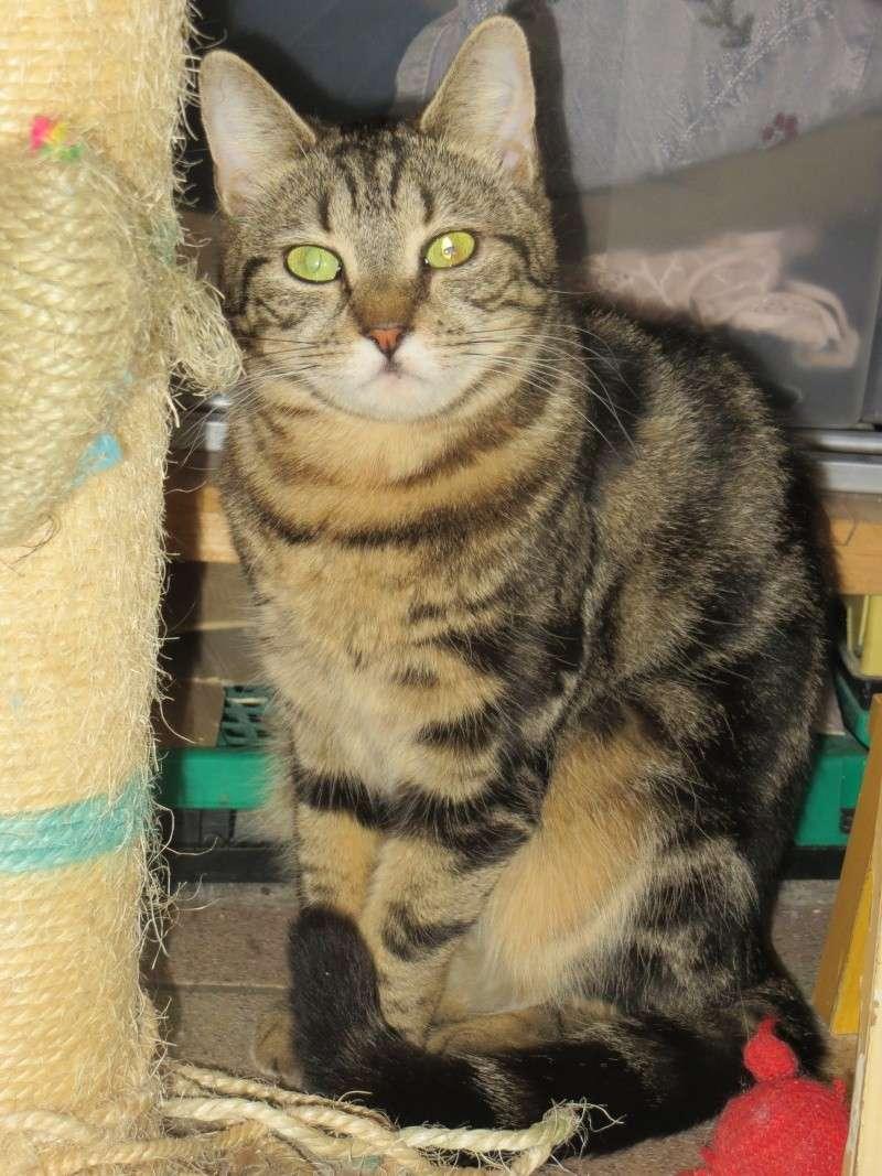 GWENALLE, petite tigrée, cherche une famille pour la vie (34) Gwenae10