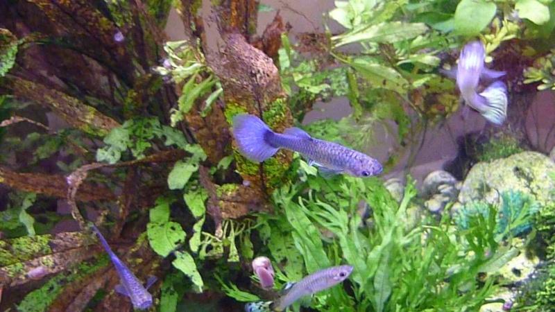 Galerie de photos de Padawanfish : Guppy Bleu Galeri22