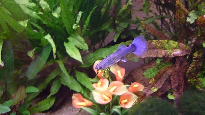 Galerie de photos de Padawanfish : Guppy Bleu Galeri23