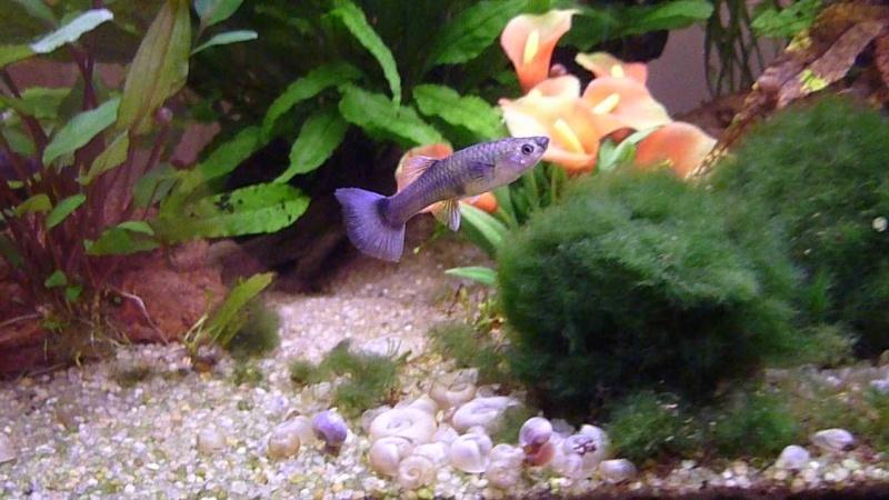 Galerie de photos de Padawanfish : Guppy Bleu Galeri24