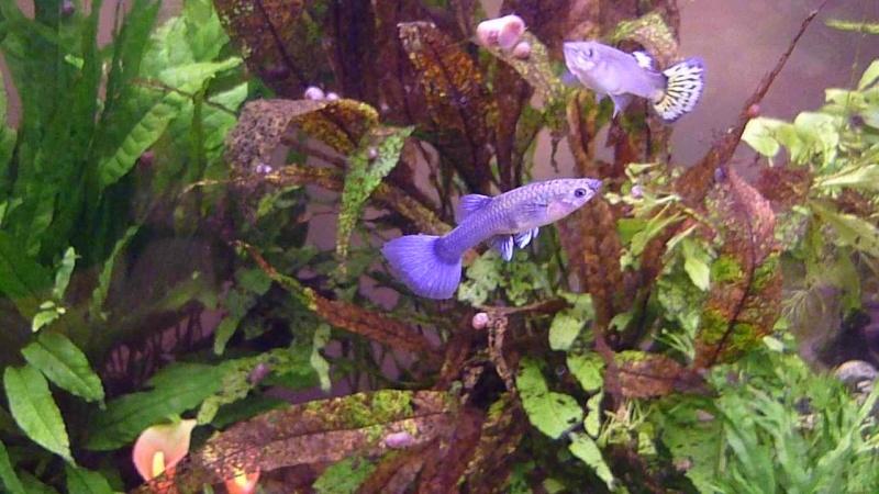 Galerie de photos de Padawanfish : Guppy Bleu Galeri25