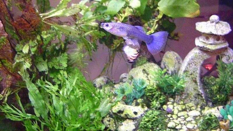 Galerie de photos de Padawanfish : Guppy Bleu Galeri26