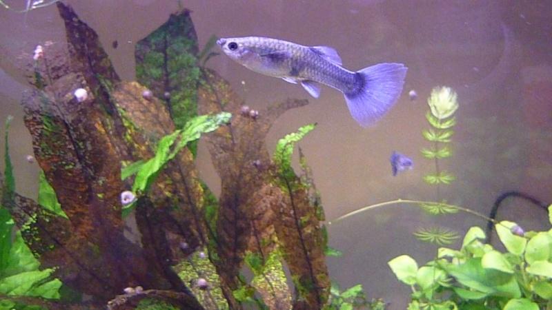 Galerie de photos de Padawanfish : Guppy Bleu Galeri27