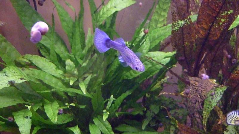 Galerie de photos de Padawanfish : Guppy Bleu Galeri29