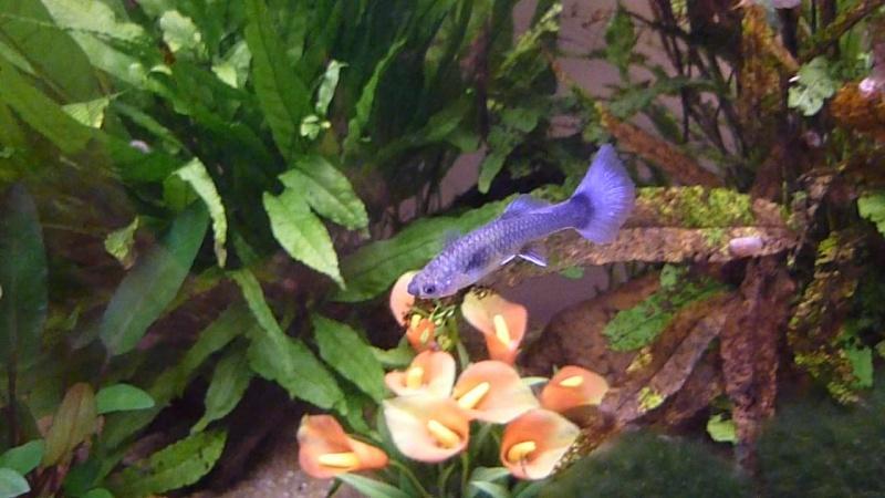 Galerie de photos de Padawanfish : Guppy Bleu Galeri30