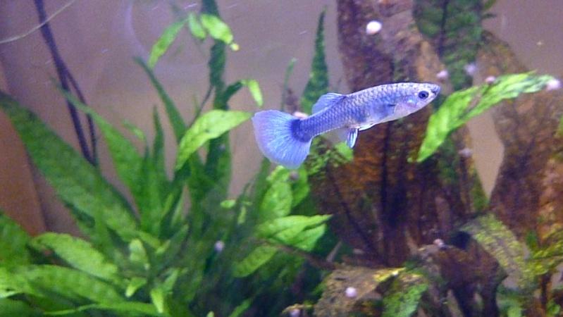 Galerie de photos de Padawanfish : Guppy Bleu Galeri31