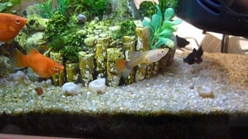 Galerie de photos de Padawanfish :  Guppy Femelle Queue Orange Arc-en-Ciel Galeri32