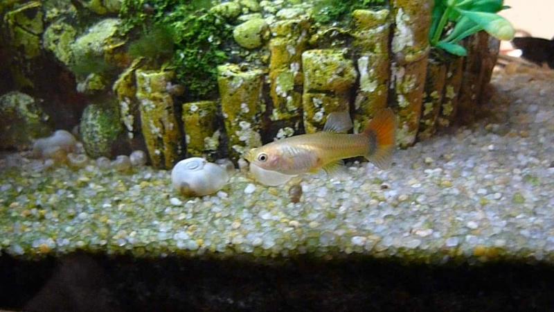Galerie de photos de Padawanfish :  Guppy Femelle Queue Orange Arc-en-Ciel Galeri33