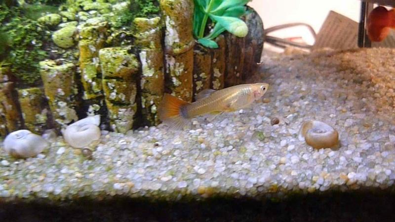 Galerie de photos de Padawanfish :  Guppy Femelle Queue Orange Arc-en-Ciel Galeri34