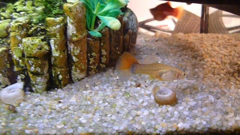 Galerie de photos de Padawanfish :  Guppy Femelle Queue Orange Arc-en-Ciel Galeri35