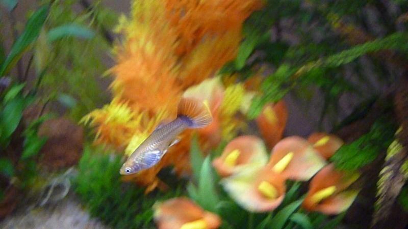 Galerie de photos de Padawanfish :  Guppy Femelle Queue Orange Arc-en-Ciel Galeri36