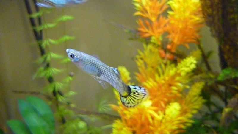 Galerie de photos de Padawanfish :  Guppy Gris Queue Jaune Galeri47