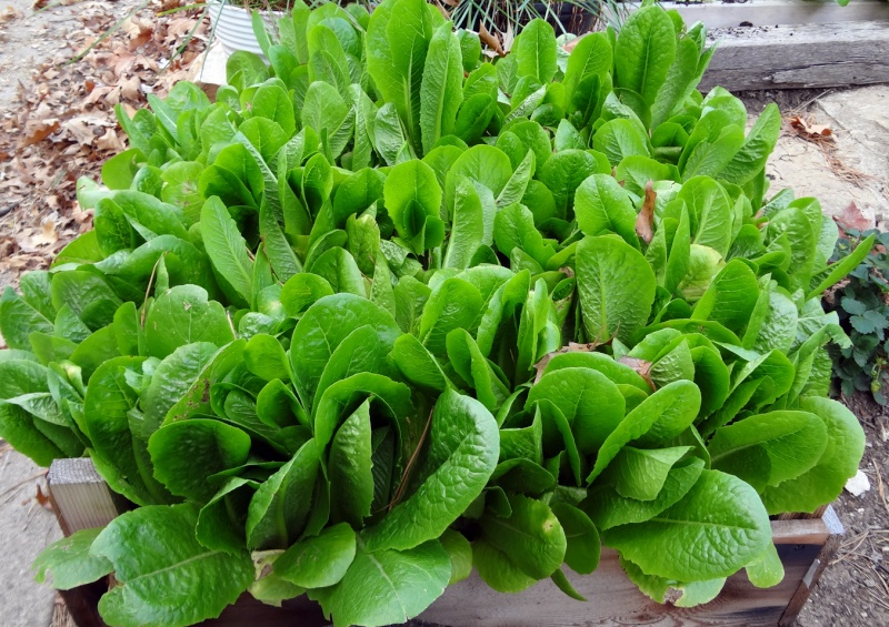 Question for Experienced Lettuce Gardeners Romain11