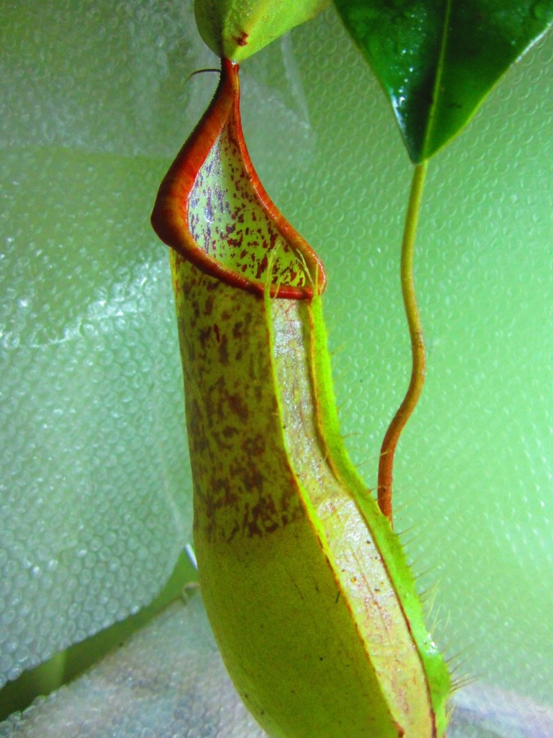 identification nepenthes  Img_1310