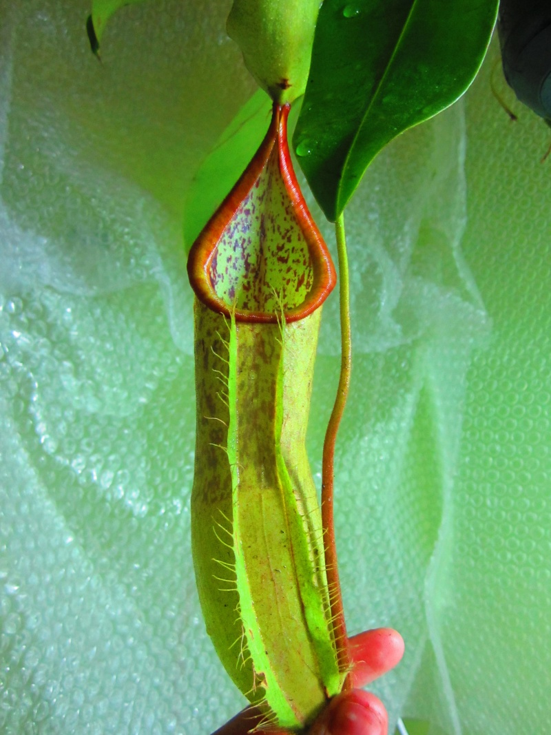 identification nepenthes  Img_1311