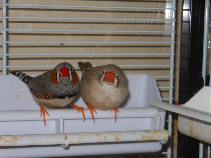 deux couples de mandarin Dscn4713