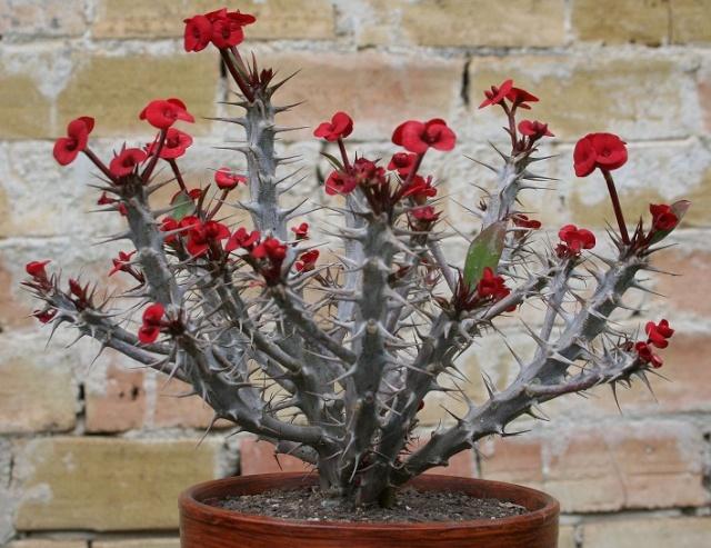 Euphorbia millii Img_7410