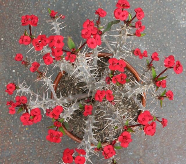 Euphorbia millii Img_7515