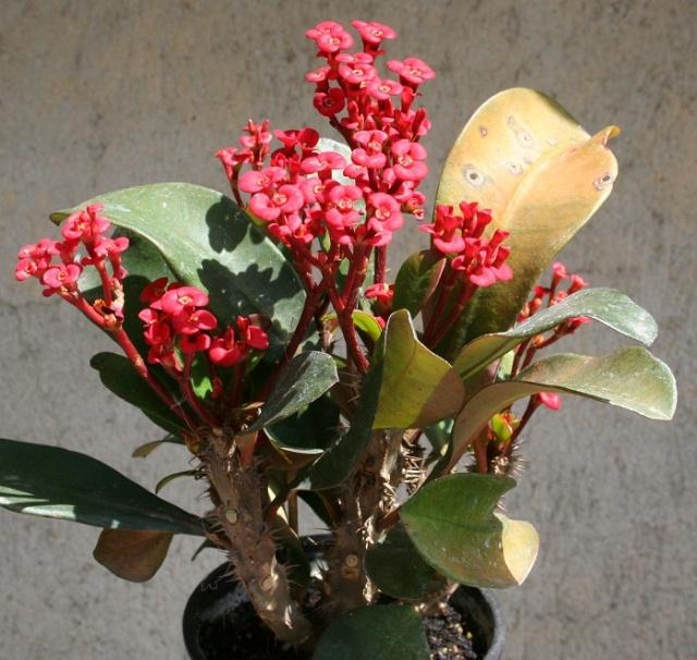 Euphorbia millii Img_7610