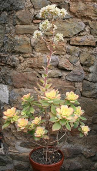 Aeonium haworthii 'Kiwi' Img_7711
