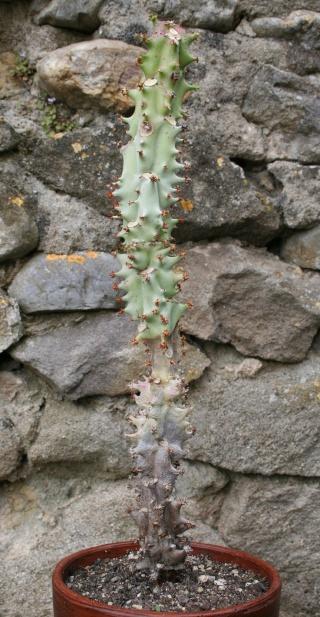 Euphorbia spectabilis (= Monadenium spectabile) Img_7712
