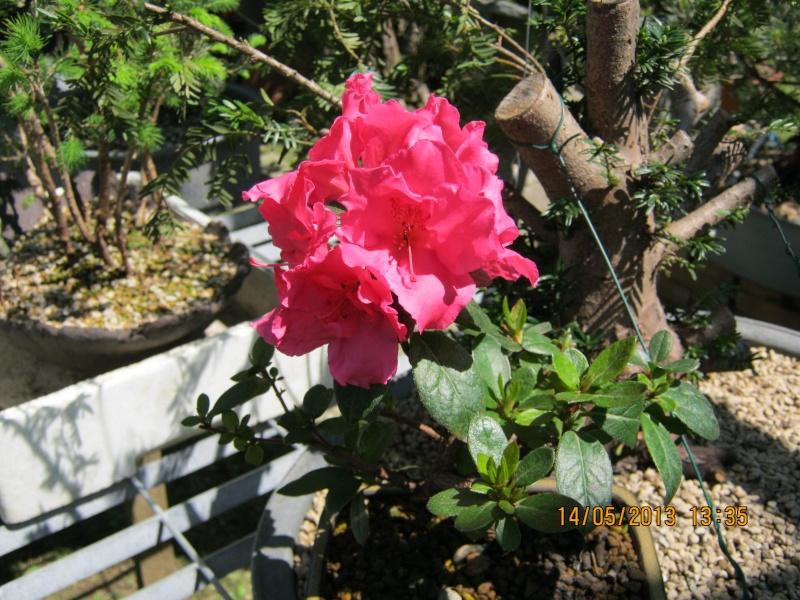 Piccoli bonsai crescono - Pagina 2 Ligust16