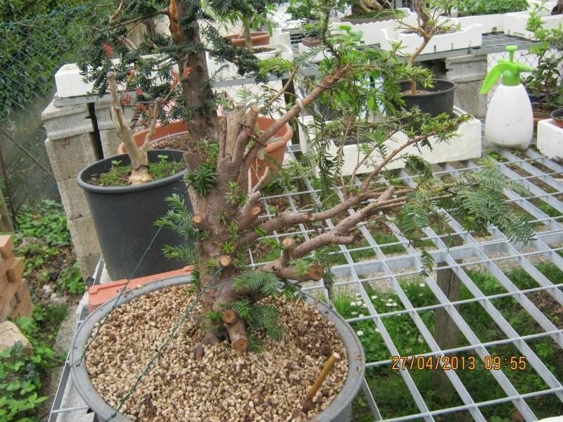 Tasso che fra un pò di tempo comincerà la strada del bonsai Ragogn17