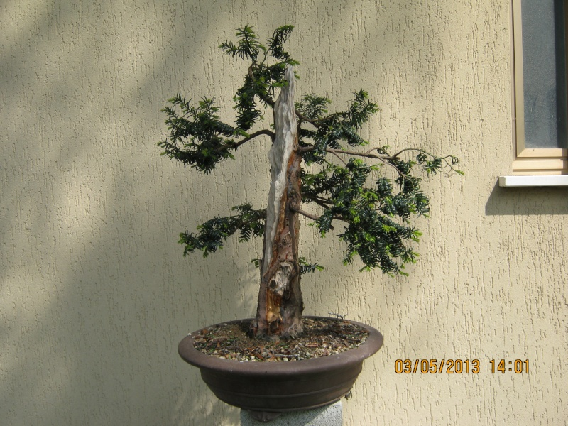 Un tasso che ce la mette tutta per diventare bonsai. Tasso_14