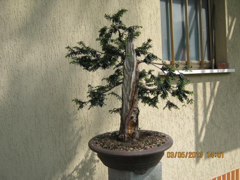 Un tasso che ce la mette tutta per diventare bonsai. Tasso_15
