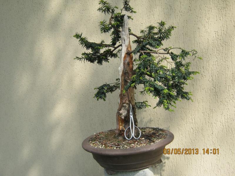 Un tasso che ce la mette tutta per diventare bonsai. Tasso_16