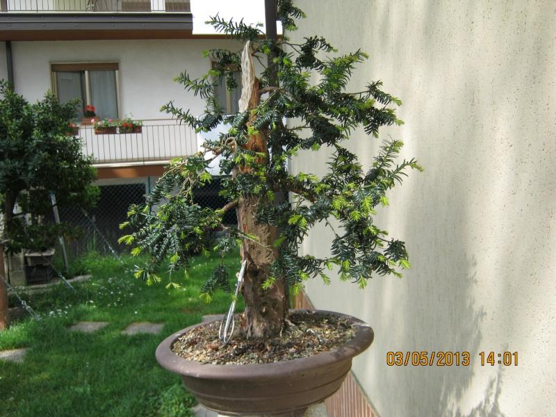 Un tasso che ce la mette tutta per diventare bonsai. Tasso_17