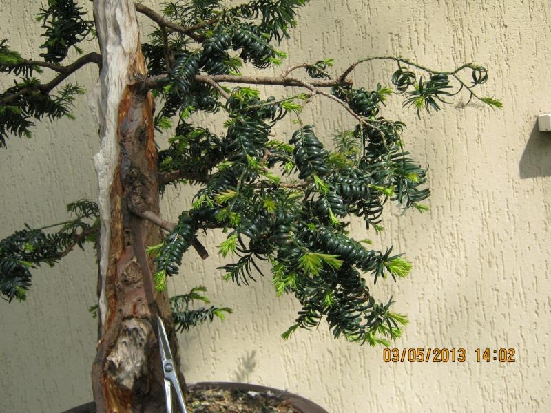 Un tasso che ce la mette tutta per diventare bonsai. Tasso_19