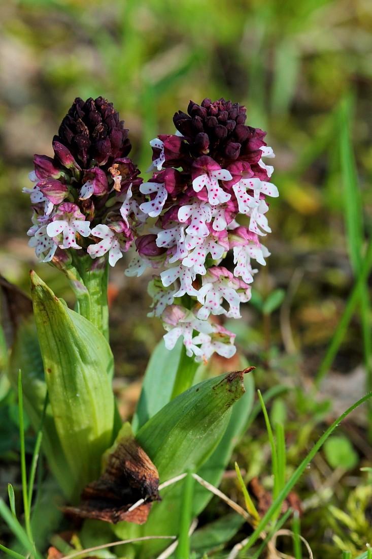Orchidées Ophrys10