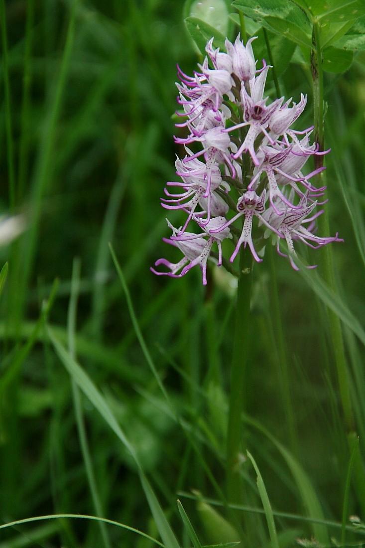 Orchidées Orchis10