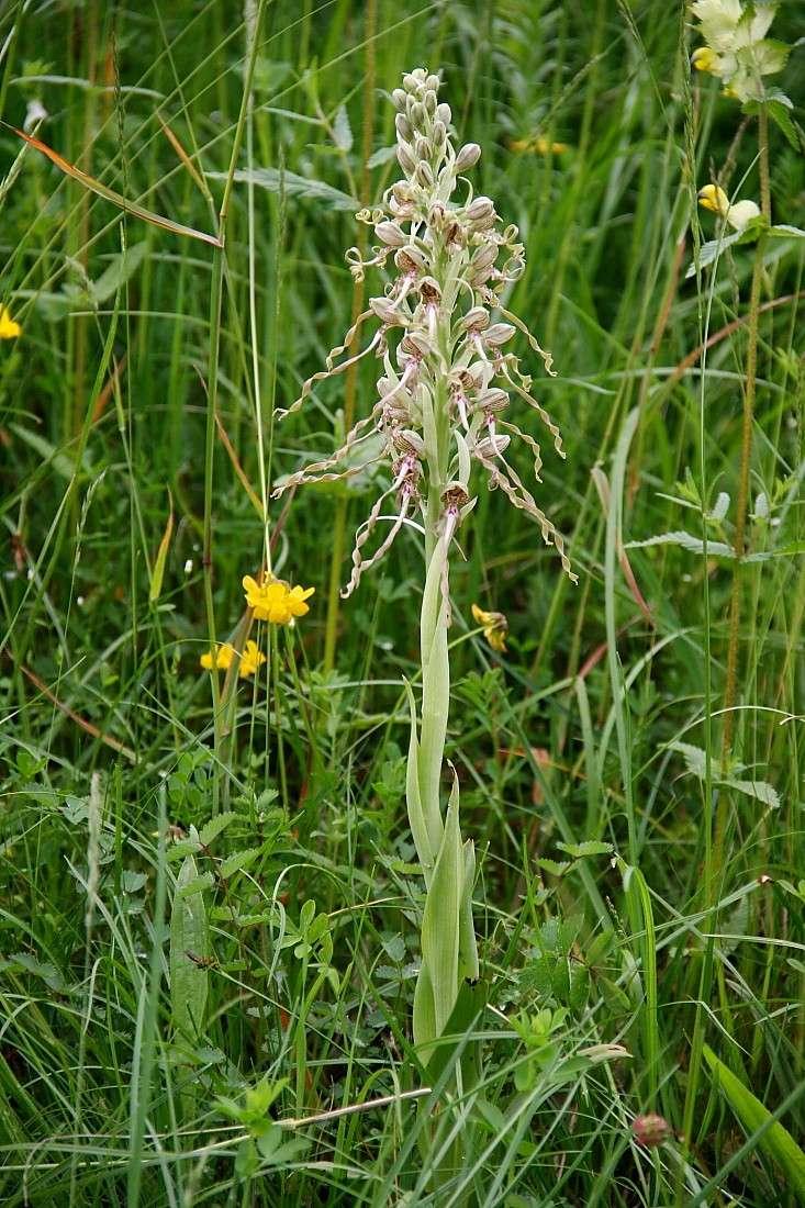 Orchidées Orchis14