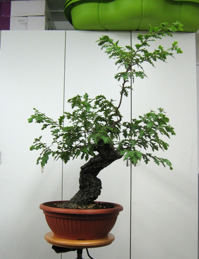 Quercus cerris - Pagina 3 Fronte19