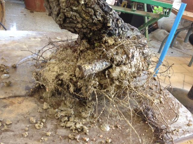 Quercus cerris - Pagina 3 Image_11