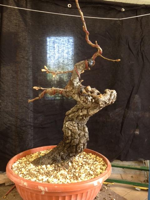 Quercus cerris - Pagina 3 Image_13