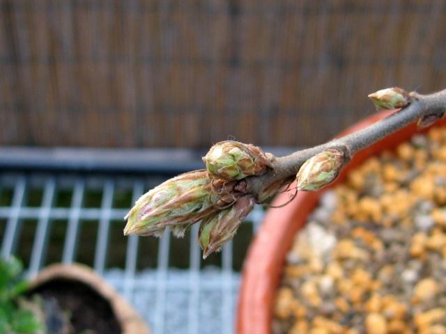 Quercus cerris - Pagina 3 Img_0024