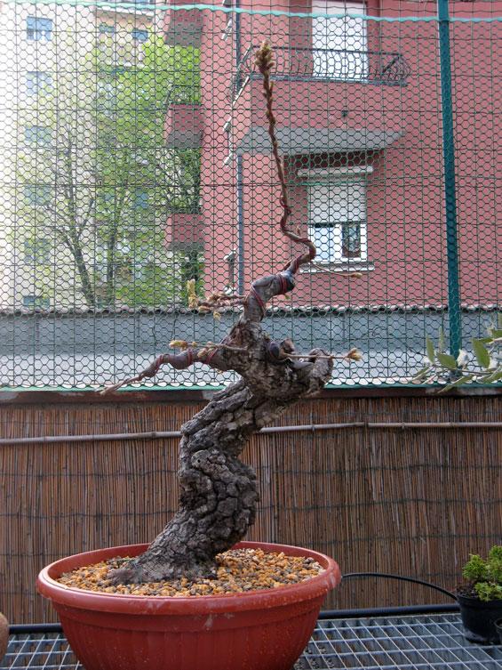 Quercus cerris - Pagina 3 Img_0025