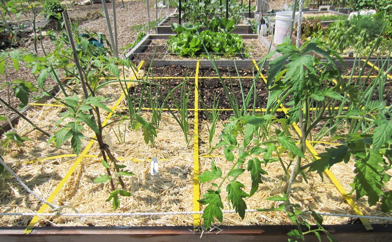 Planning for grafted tomatoes Big_be10