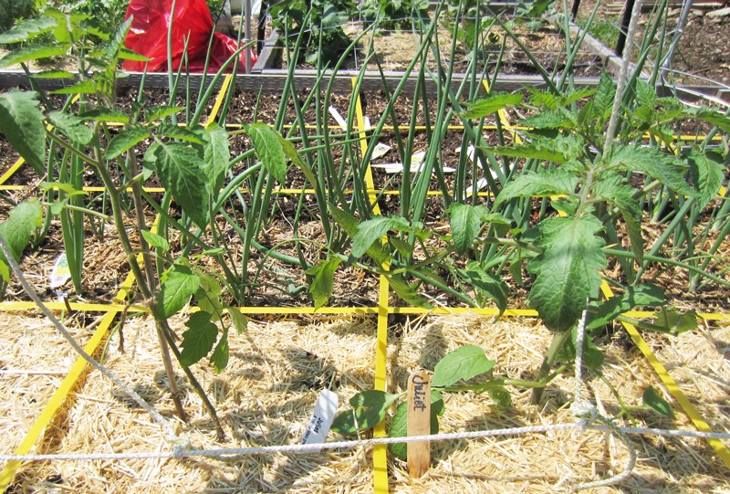 Planning for grafted tomatoes Juliet10
