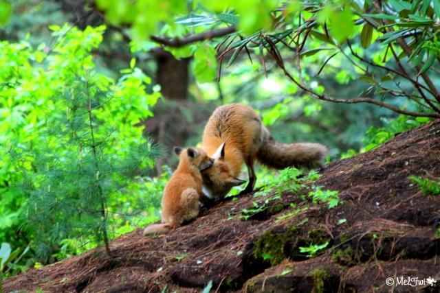 Maman renard, bébé renardeaux, et enfin papa ;) 030b10