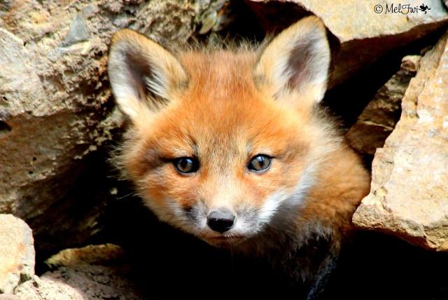 Maman renard et bébés renardeaux :D 043b10