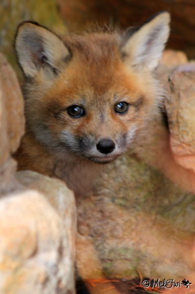 Maman renard et bébés renardeaux :D 050b10